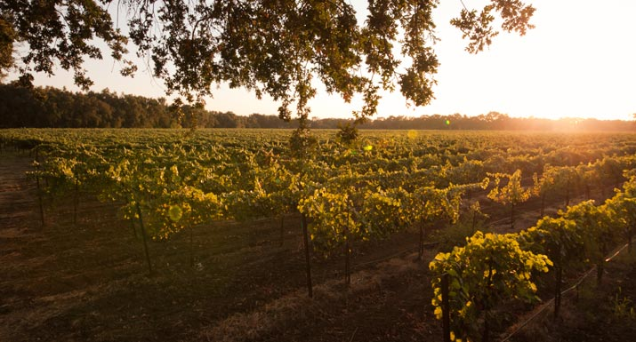 photo of St Amant Vineyard